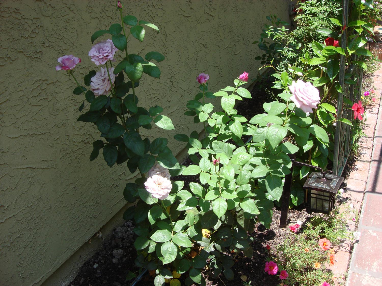 Hemingway Roses Neptune Hybrid Tea